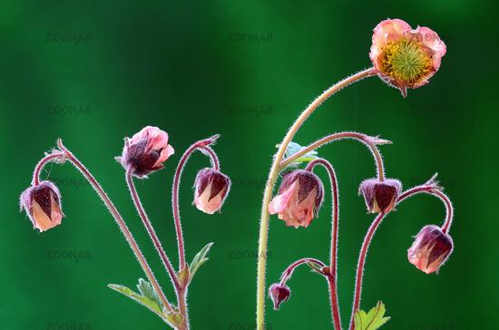 Avens blossom