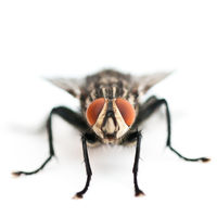 Frontal vie of a blow fly
