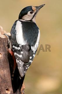 Buntspecht,great spotted woodpecker,