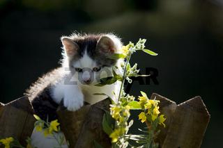 Katze, Kaetzchen auf Zaun mit Blumen, Cat, kitten on a fence with flowers