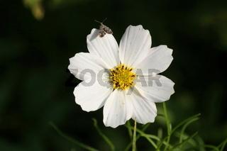 sommerblume, weiß mit Insekt