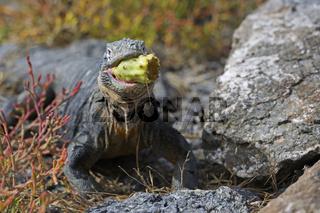 Drusenkopf (Conolophus subcristatus),Galapagos Landleguan , fris