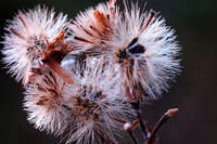 The seed heads of conyza bonariensis plant