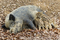 wild Boar, shoats, Sus scrofa, Nationalpark Bavarian forest, Germany