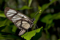 Giant Glasswing butterfly (Methona confusa)
