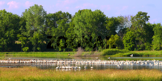 American White Pelicans in Illinois
