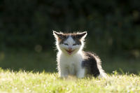 Cat, kitten laughing in the back light