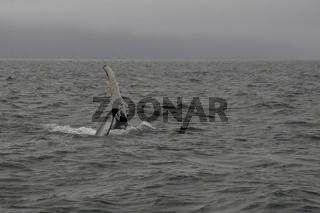Humpback whale's (Megaptera novaeangliae) flipper. Whale-watching tour on the Skjálfandi Bay near Húsavík