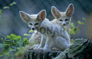 Fennek (Vulpes zerda)