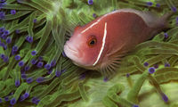 pink anemonefish in a green anemone