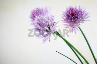 Schnittlauch-Blüten