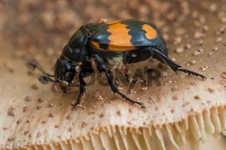 Schwarzhörniger Totengräber, burying beetle  (Nicrophorus vespilloides)