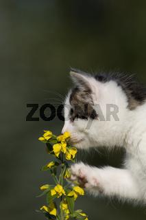 Katze/Kätzchen riecht an Blume, Cat/kitten smelling flower