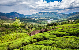 Tea plantations in India