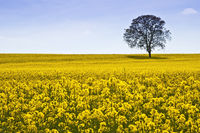 Rape field and tree
