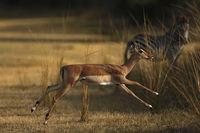 Running Impala - Zebra watching, Zambia