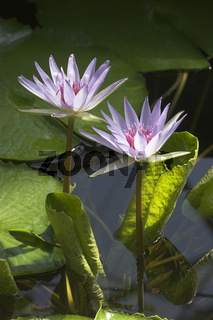 Aegyptische-Seerose