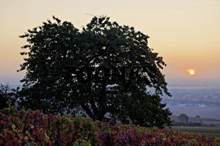 Sonnenaufgang ueber Pommard, Burgund, France