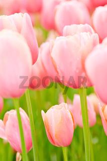 Viele Tulpen in rosa
