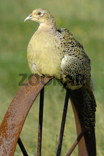 Ring-necked female pheasant (Phasianus colehicus)