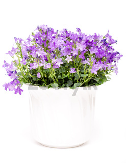 Glockenblume mit lila Blüten