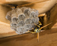 a wasp is building a nest