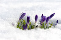 Purple crocuses growing through the snow in early