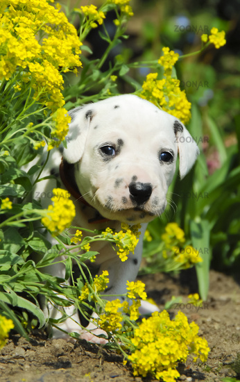 Dalmatian puppy, three weeks old, in a flowerbed