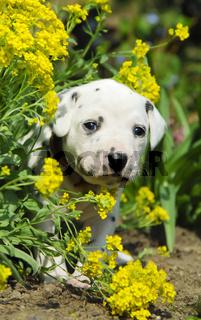 Dalmatiner Welpe, drei Wochen alt