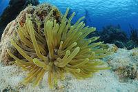 giant anemone, Condylactis gigantea