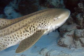 Leopardenhai, Zebra Shark, Stegostoma fasciatum