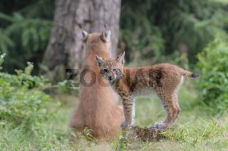 Eurasischer Luchs ,Lynx lynx, eurasian lynx