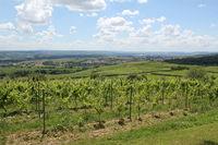 Viniculture near Eltville, Rheingau, Upper Middle Rhine Valley