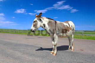 Begging Burro Custer State Park