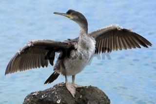 Great Cormorant (Phalacrocorax carbo) - Großer Kormoran (Phalacrocorax carbo)