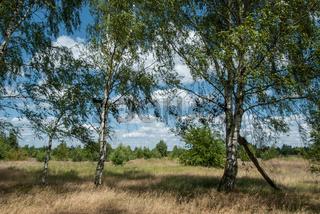 Birken in der Heide, Birch trees in the heath