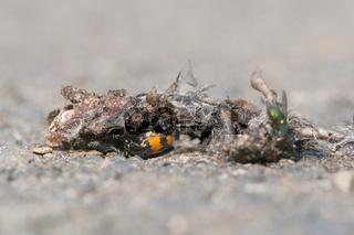 Schwarzhoerniger Totengraeber (Nicrophorus vespilloides)