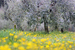 Flowering meadow under olive trees