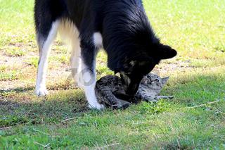 Husky Labradormischling gegen Katze