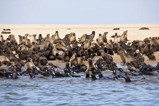 Suedafrikanische Seebaeren, Namibia