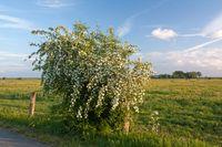 Weißdorn in der Elbmarsch bei Hetlingen