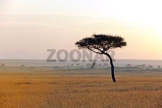 Schirmakazie (Acacia tortilis), kurz vor Sonnenaufgang, Masai Ma