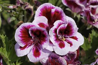 Pelargonium grandiflorum 'Clarion Bicolor', Edelpelargonie, Edelgeranie - Pelargonium grandiflorum 'Clarion Bicolor'