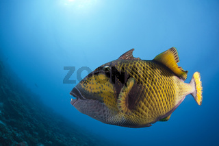 Gruener Riesendrueckerfisch, Malediven
