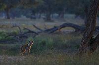 Crocuta crocuta, Spotted hyena in Mana Pools.