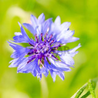 Phyteuma flower