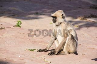 Affe in Indien Hanuman languren