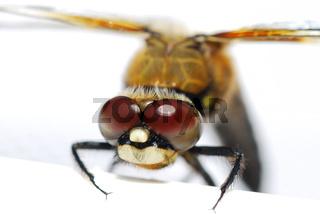 libelle grossansicht