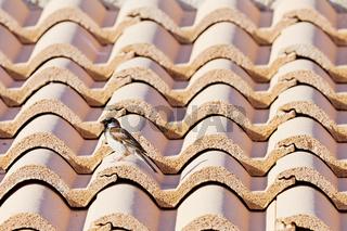 Spatz auf einem Dach