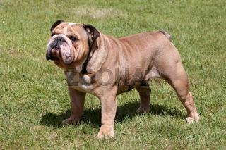 The English Bulldog on the green grass